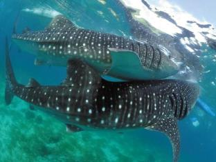 Badian Island Wellness Resort Badian - whale Shark watching